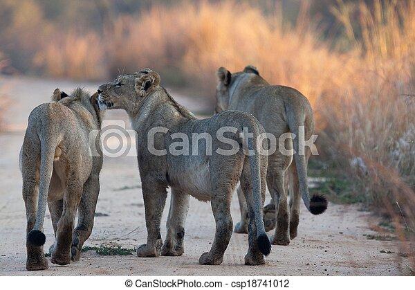 lions of Tanzania National park - csp18741012