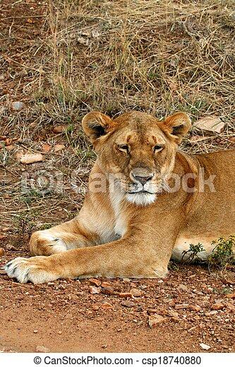 lions of Tanzania National park - csp18740880