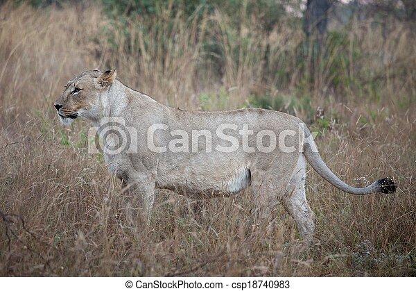 lions of Tanzania National park - csp18740983