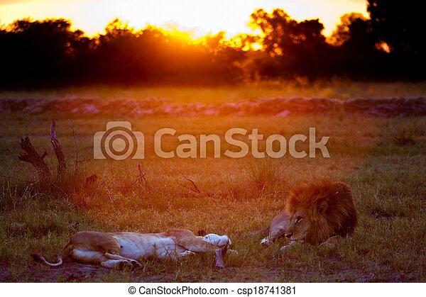 lions of Tanzania National park - csp18741381