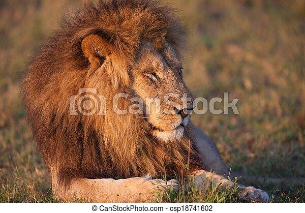 lions of Tanzania National park - csp18741602
