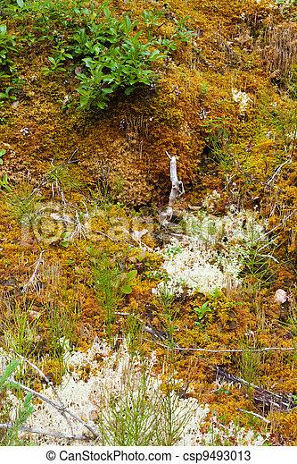 Piso Boreal de bosques liquenes, musgos, plantas pesadas - csp9493013