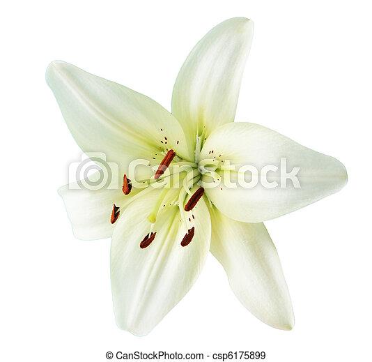 lis blanc - csp6175899