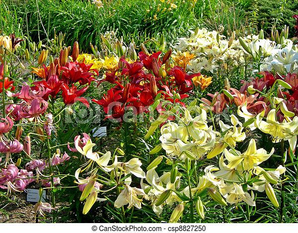 lis, jardin - csp8827250