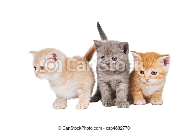 litet, katt, shorthair, brittisk, kattungar - csp4832770