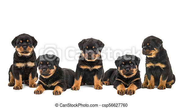 Litter of five rottweiler puppies isolated on a white background
