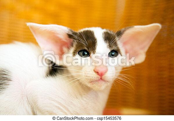 Little black and white siamese kitten csp15453576