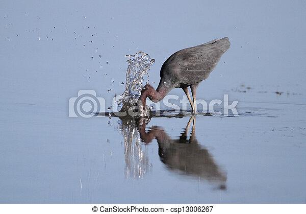 Little Blue Heron Striking at a Fish - csp13006267