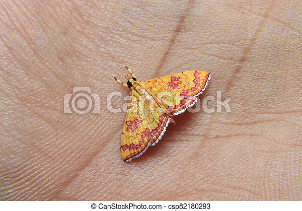 little colorfull Isocentris file is moth on finger - csp82180293