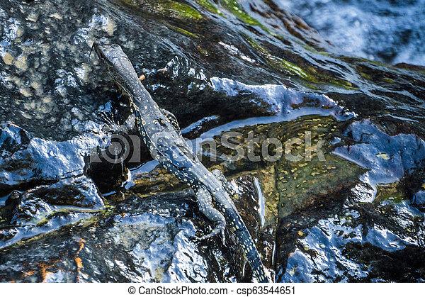 Little Cub of Monitor Lizard on the stone near a stream - csp63544651