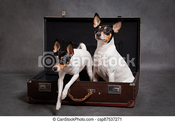 Little dog jumps out of suitcase - csp87537271