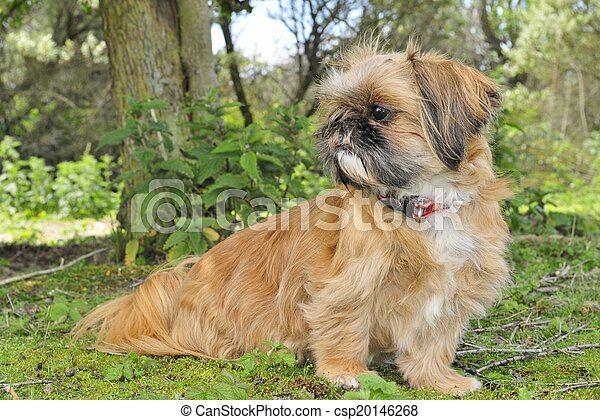 Little dog watching - csp20146268