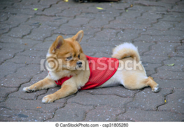 little dog with a red shirt - csp31805280
