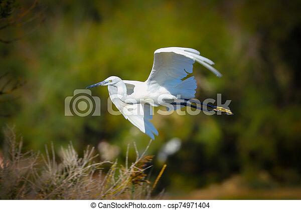 Little Egret in flight in the wild - csp74971404