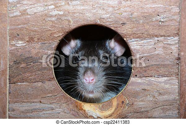 little fancy mouse in a little wooden house - csp22411383