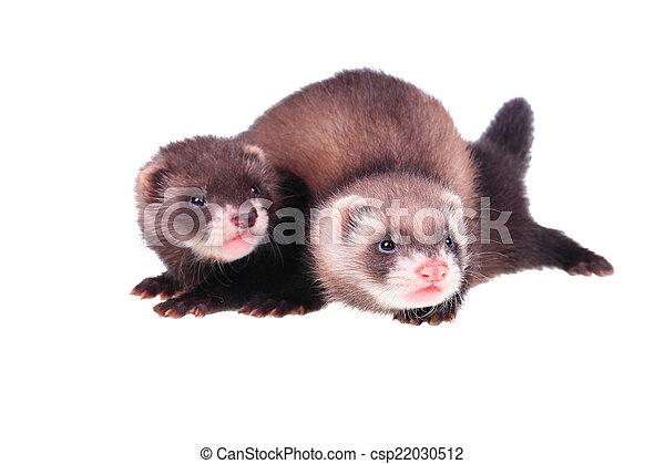 Little ferret babies - csp22030512