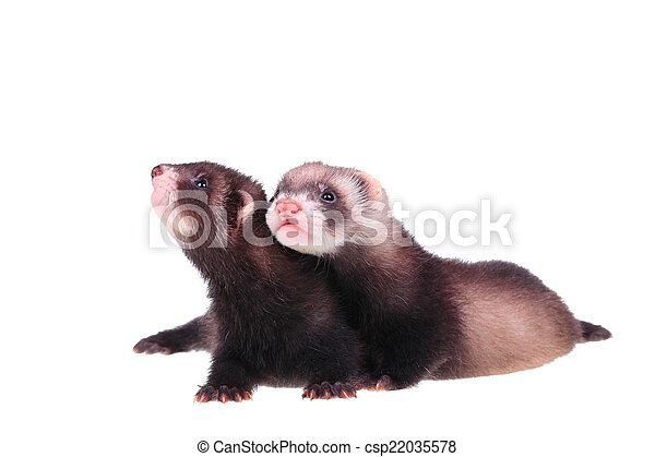 Little ferret babies - csp22035578