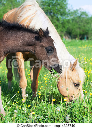 little foal of welsh pony with mom - csp14325740