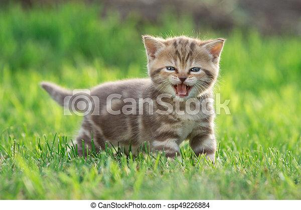 Little kitten cat meowing in the green grass - csp49226884