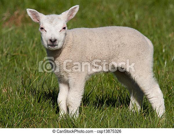 Little lamb in a field - csp13875326