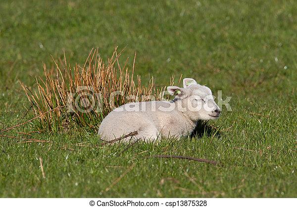 Little lamb sleeping in a meadow - csp13875328