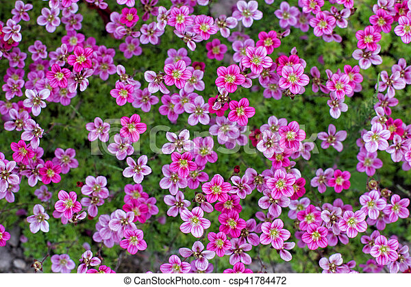 Little Pink Flowers Saxifraga Pattern Of Small Pink Flowers