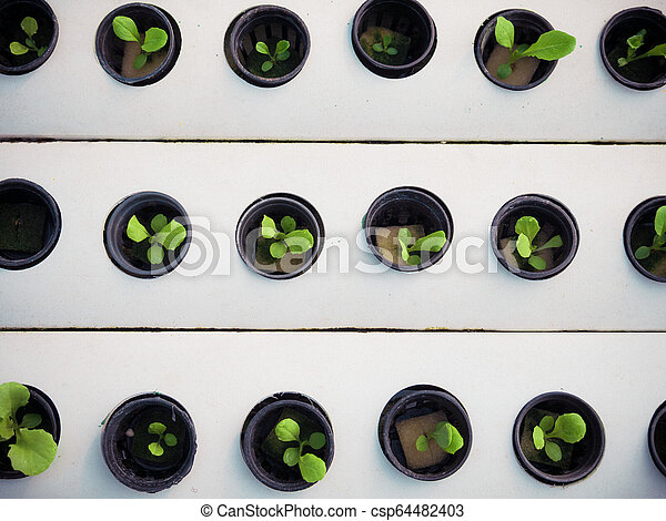 Little plant in black pot. Green plant in Hydroponics farm. Agriculture and Business concept. - csp64482403
