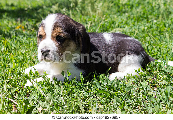 Little puppy of a hunting breed lies in the grass - csp49276957