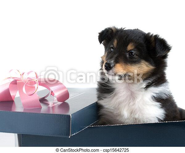 little puppy Sheltie in a gift box - csp15642725