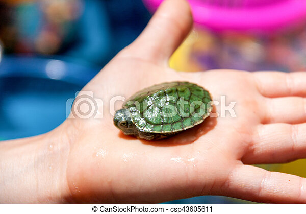 Little sea turtle on the palm close-up - csp43605611