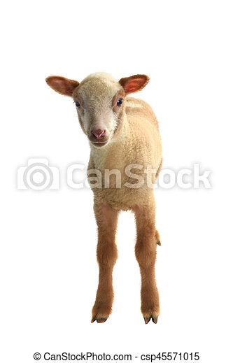 little sheep - csp45571015