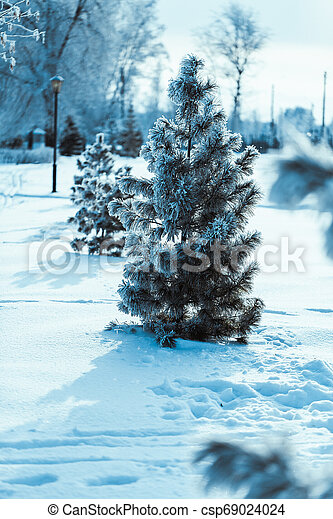 little spruce on the background of the winter forest - csp69024024