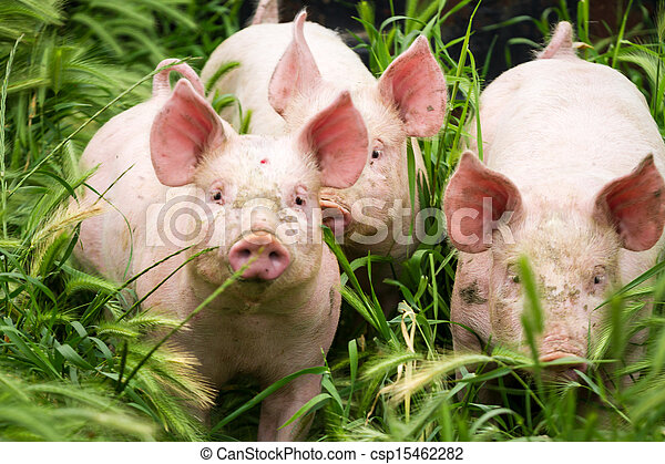 Little three pigs on the field in summer - csp15462282