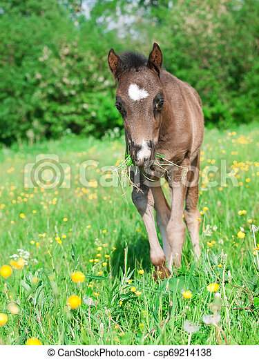 little welsh pony foal posing at pasture - csp69214138