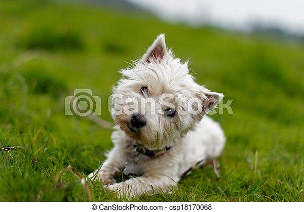 Little white dog tilting its head - csp18170068