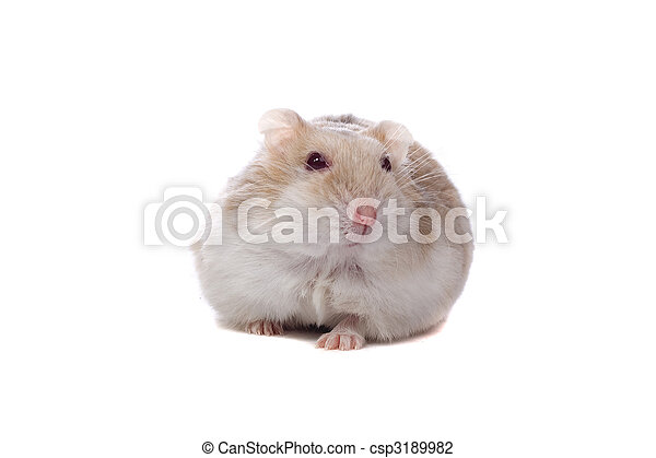 little white hamster - csp3189982