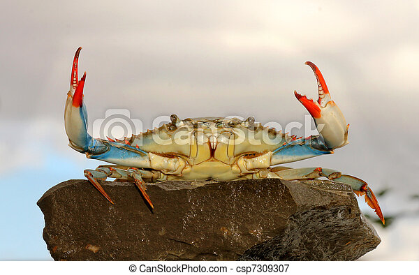 live blue crab in a fight pose - csp7309307