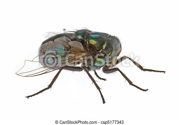 Live Household Fly Macro - csp5177343