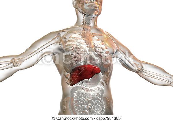 Liver highlighted inside human body, 3d illustration.