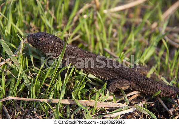 lizard in the grass on a sunny day - csp43629346