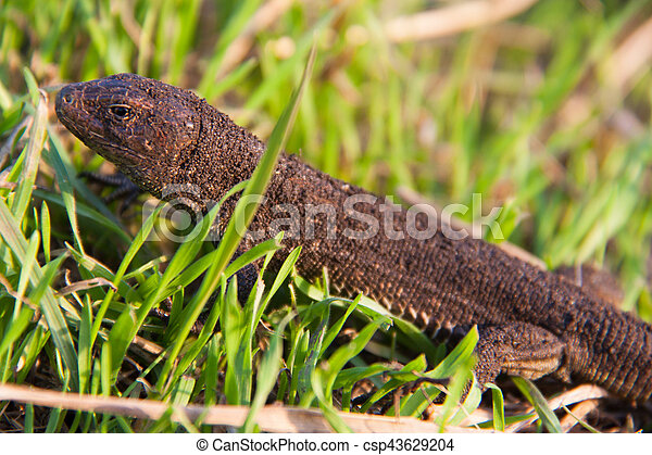 lizard in the grass on a sunny day - csp43629204