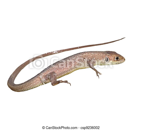 lizard isolated on white  - csp9236002