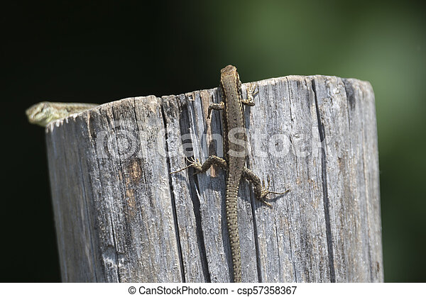 lizard on wooden fence - csp57358367