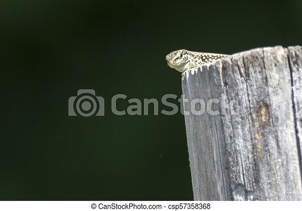 lizard on wooden fence - csp57358368