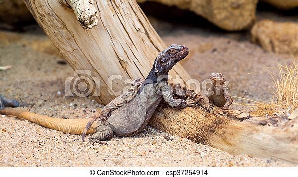 lizard - csp37254914