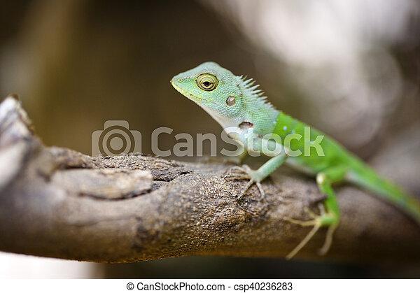 lizard - csp40236283