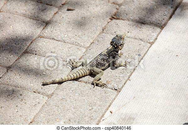 Lizard - csp40840146