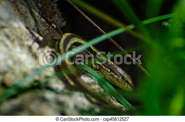 Lizard - csp45612527