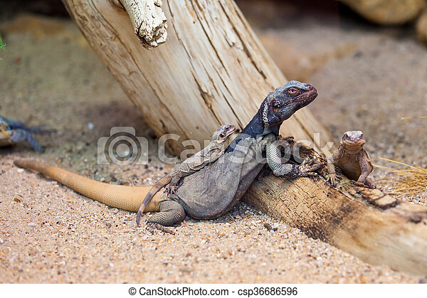 lizard - csp36686596