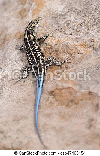 Lizard with a long blue tail resting on brown rock - csp47465154